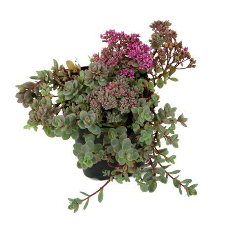 Sedum cyaneum 'Sachalin' / Rózsáskék varjúháj