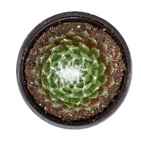 Sempervivum arachnoideum 'Tomentosum' / Kövirózsa