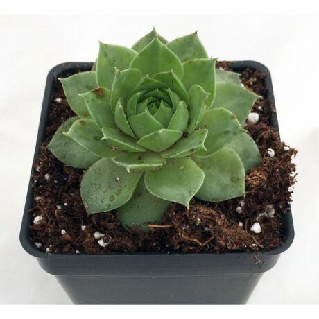 Sempervivum tectorum / Kövirózsa