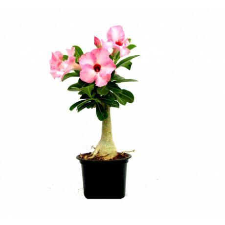 Adenium / Sivatagi rózsa