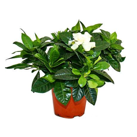 Gardenia jasminoides / Gardénia