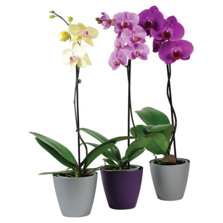 Phalaenopsis / Lepkeorchidea, Pillekosbor