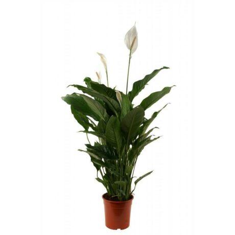 Spathiphyllum wallisii / Vitorlavirág