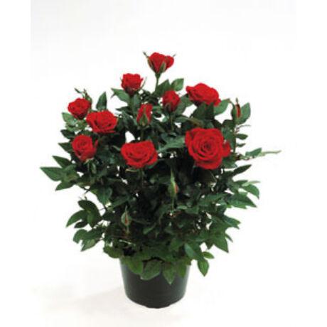 Rosa chinensis var. minima / Szobarózsa